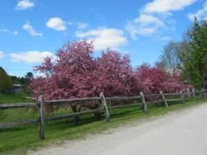 Goddard blossom tree